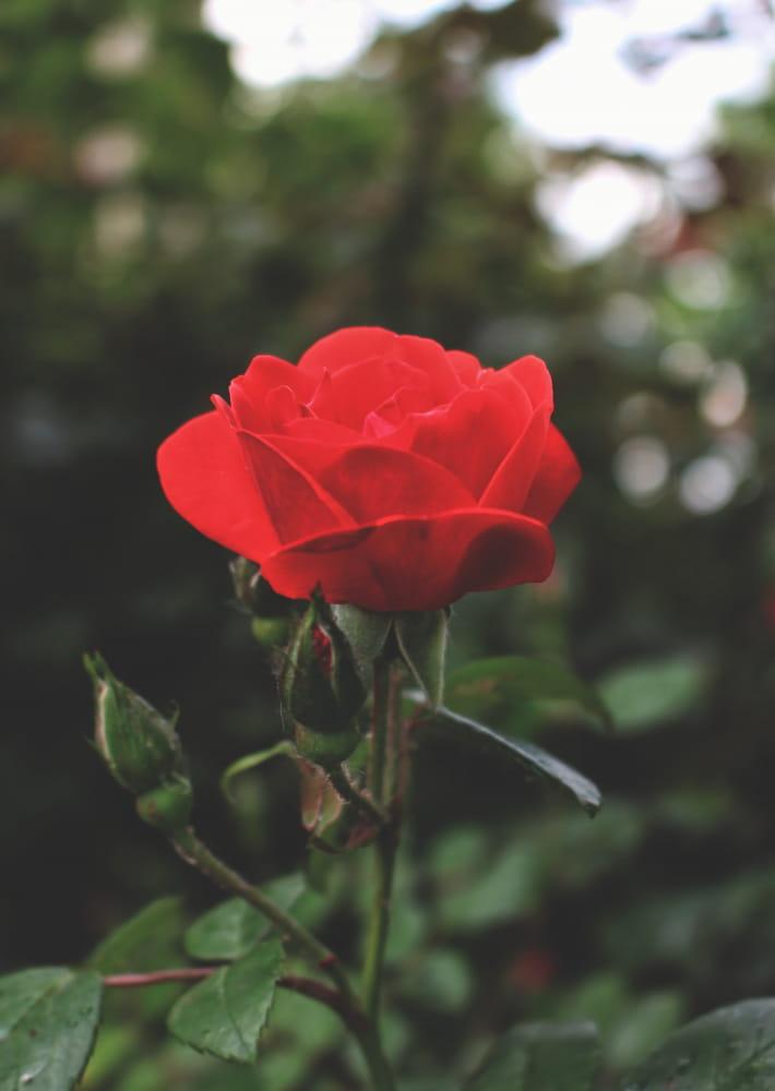 rose_ty_coat_saintbrieuc