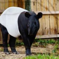 photo tapir noir zoo